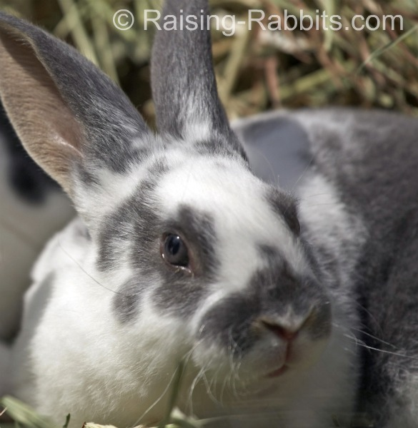 Broken Blue Otter Rex Rabbit with dilute blue eyes