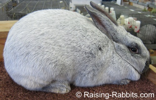 Well silvered Champagne d'Argent rabbit