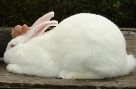 American Rabbit - White (REW)