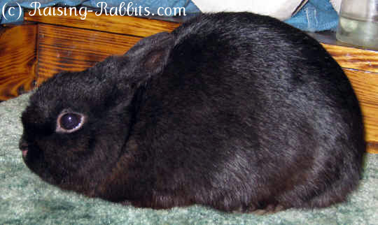 B-Locus Rabbit Colors - Black Polish rabbit