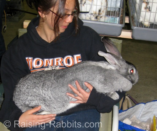 17 pound Light Gray Flemish Giant with friend