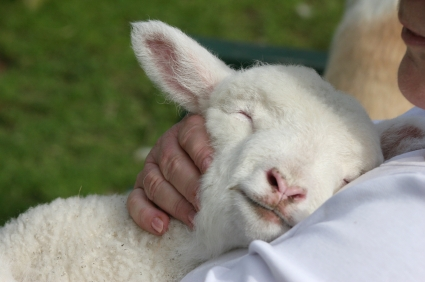 Lamb resting on shepherd