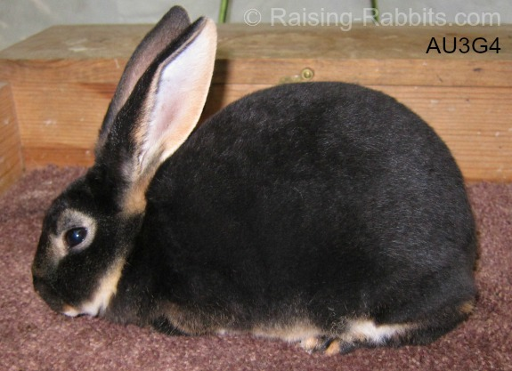 Young black otter rex doe, raised by Aurora Rex Rabbit Ranch