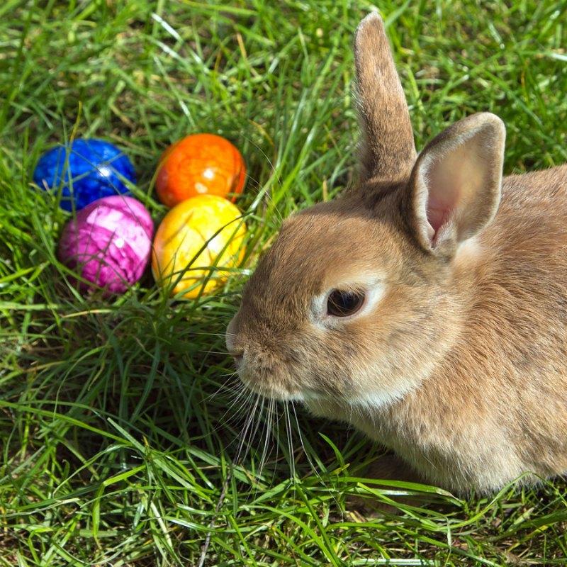 Do bunnies lay eggs?
