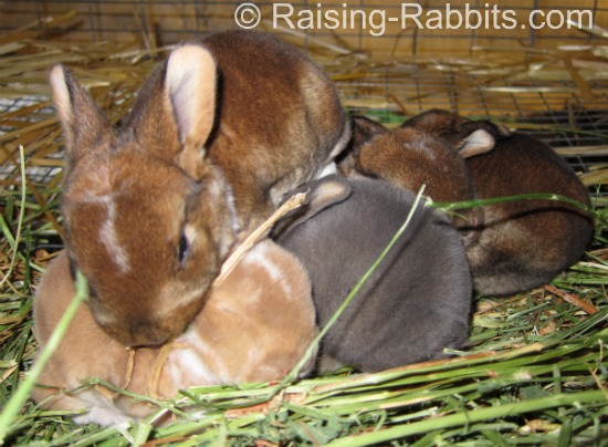 Beautiful and colorful litter of Rex Rabbits at Aurora Rex Rabbit Ranch.