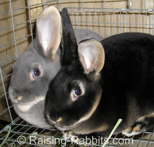 Black Otter and Blue Otter Rex rabbit siblings