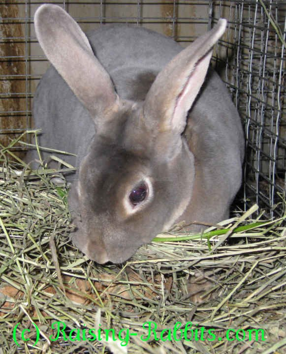Pregnant rabbit gathering straw in her mouth