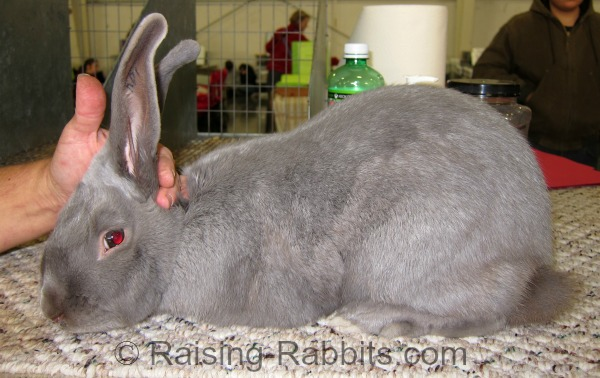 Excellent Beveren rabbit