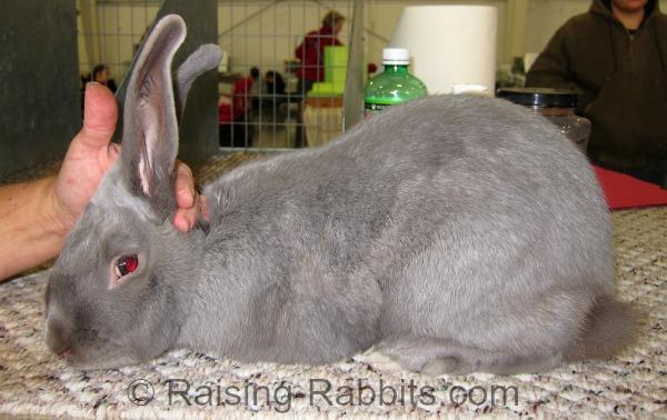 Excellent Beveren rabbit