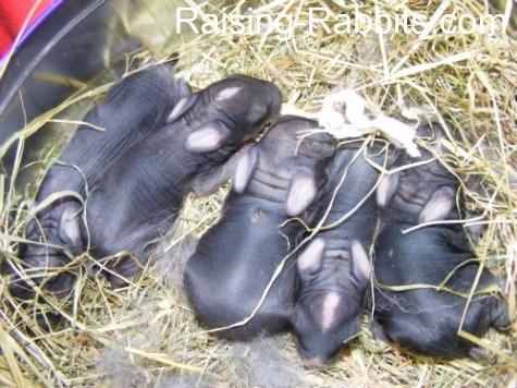 5 tiny lionhead and wild rabbit kits