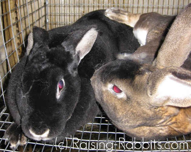 The buck typically falls off the doe when rabbit mating is completed