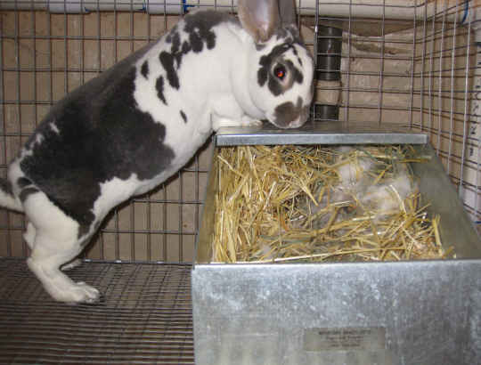 Pregnant opal rex doe and her rabbit nest box.