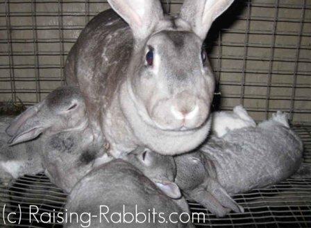 Raising baby rabbits: 4-week-old rabbit kits nursing