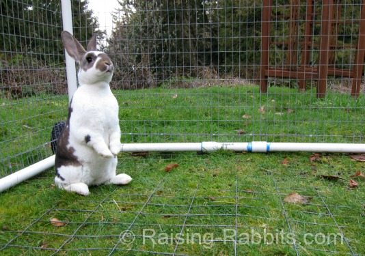 Rabbit Facts: This rabbit is very much on alert, though it is managing its anxiety level