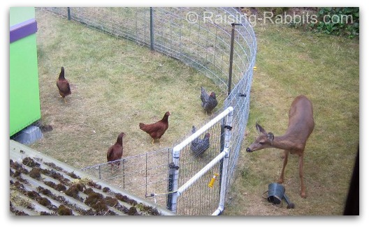 Backyard chickens in the rabbitry help reduce feed waste