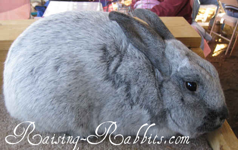 Champagne d'Argent (Argente Champagne) rabbit breed