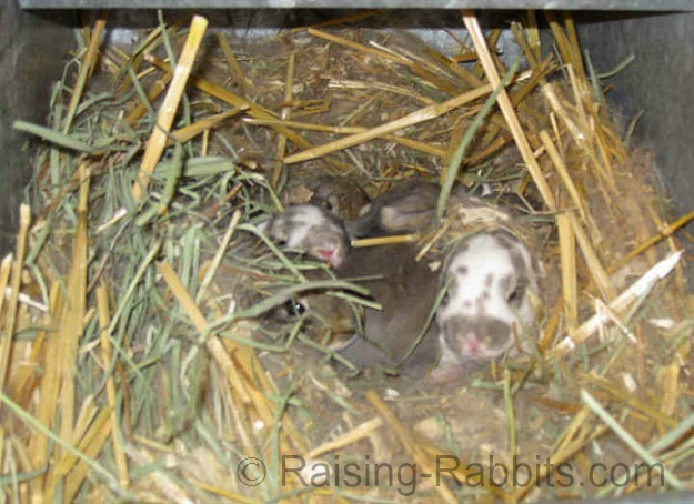 These Rex bunnies are 12-14 days old and are snug in their nest box.
