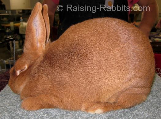 New Zealand Red Rabbits Info, History, Description