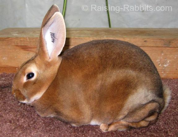 Junior Castor Rex Rabbit