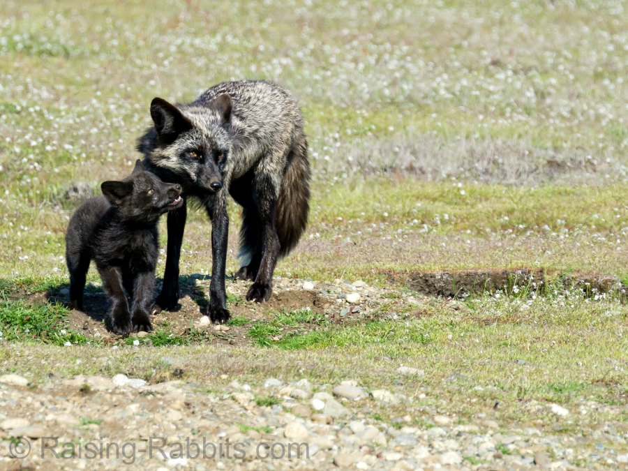 Foxes on San Juan Island in Washington State prey on the feral rabbit population