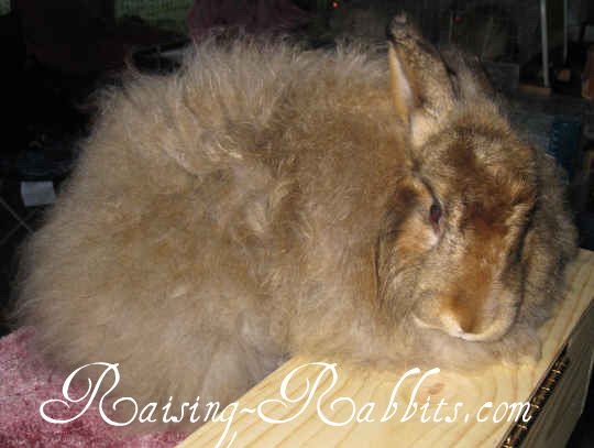 Satin Angora with minimal face furnishings
