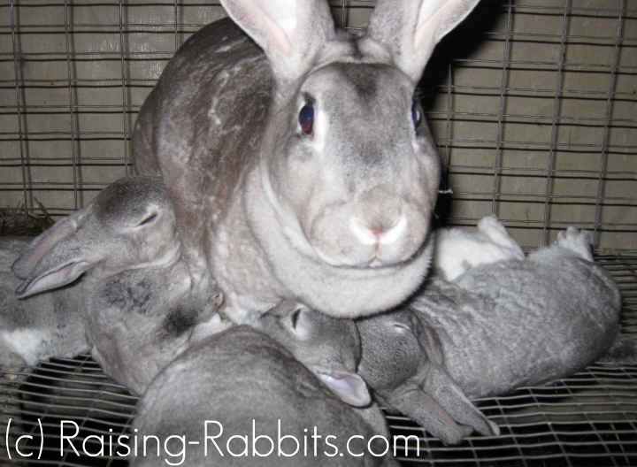 An excellent chinchilla rex doe with plenty of milk for her kits