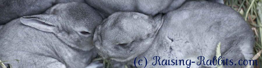 Chinchilla bunnies in hay