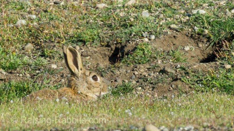Feral San Juan Island rabbit lurking and feeding near one of the many burrows