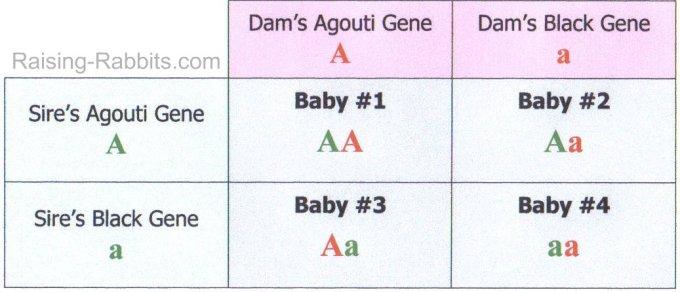 Rabbit Coat Color Genetics Chart