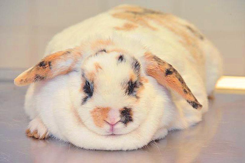 Morbidly obese rabbit.