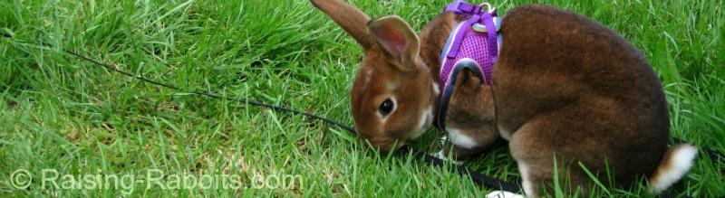 Pet Rex rabbit living near Spokane Washington