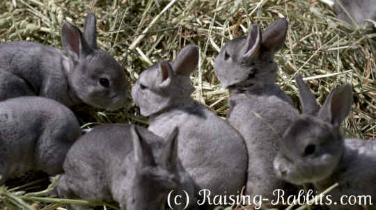 Pictures Of Rabbits Pictures At Aurora Rex Rabbit Ranch