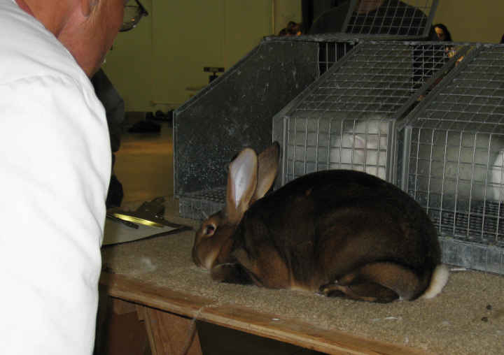 Rabbit judge examining the Rex rabbit
