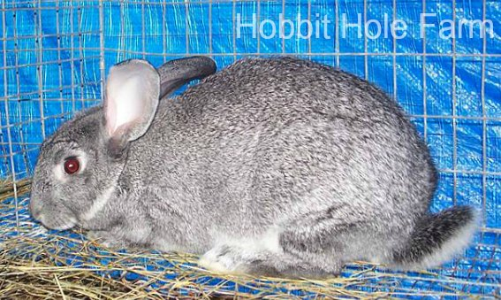American Chinchilla Rabbit from Hobbit Hole Farm in OK