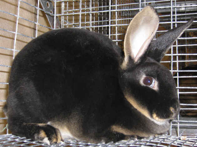 Champion black otter rex rabbit
