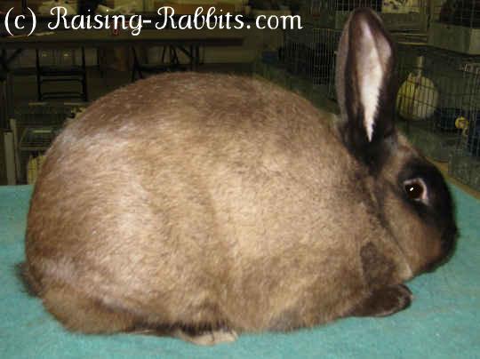 Sable Chinchilla Rabbit American Sable Rabbit