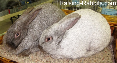 Argente Brun rabbits, 49th officially recognized breed of the American Rabbit Breeders Association