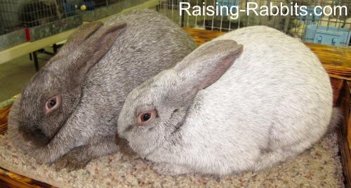 Argente Brun rabbits
