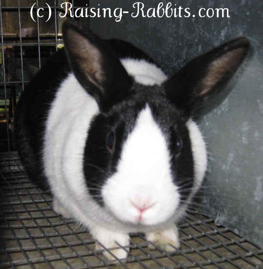 All rabbit breeds - Dutch Rabbit