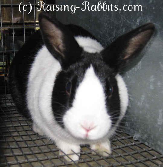 Black Dutch Rabbit