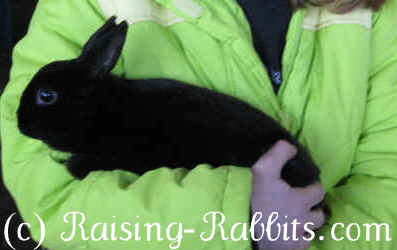 Black Mini Rex rabbit