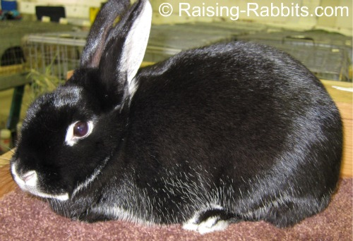 All rabbit breeds - Silver Marten Rabbit