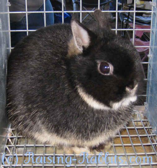 Black Otter Netherland Dwarf Show Rabbit