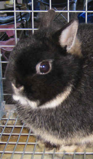 Different Breeds Of Rabbits Learn About Rabbits From O To Z