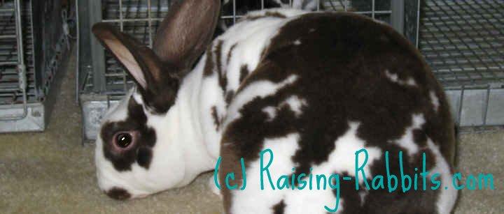 Broken black rex rabbit