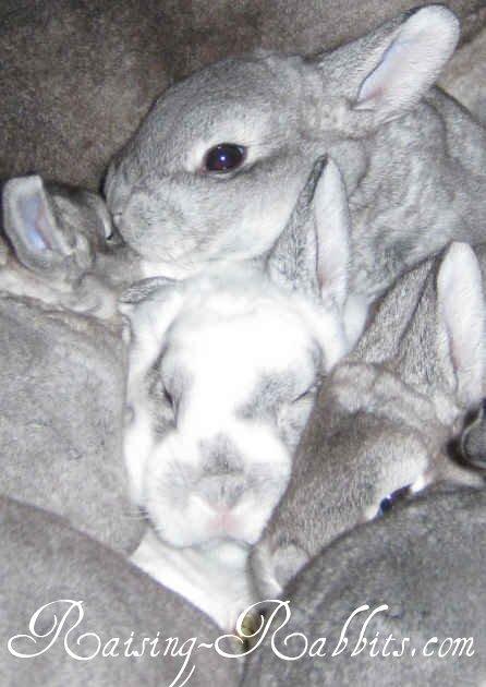 Broken Chin Rex rabbit with littermates