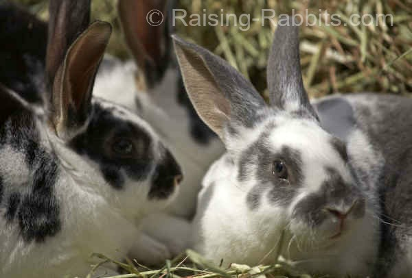 3 rabbits lounging outdoors in their corral