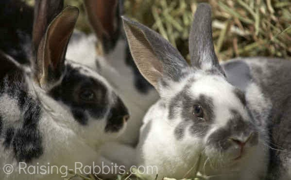 three broken otter rex rabbits in hay