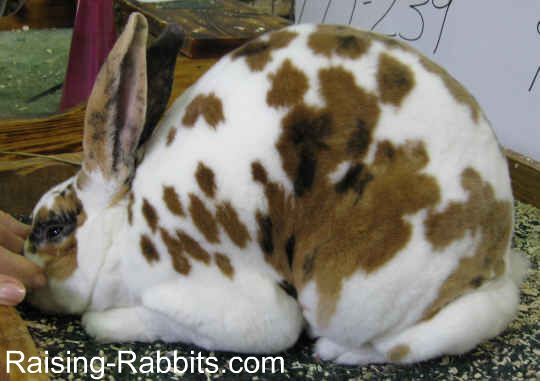 A very nice Broken Tri Rex Rabbit