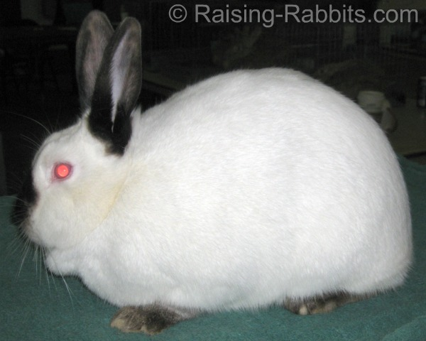 The Californian rabbit is an excellent example of a commercial body type in a rabbit